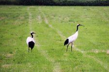 Hokkaido cycling tancho crane