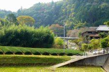 kyoto wazuka tea field